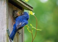 L'oiseau de bébé affamé exige plus Image libre de droits
