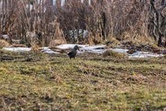 L'oiseau de cèdre se tient sur le fond de l'herbe sèche Photographie stock libre de droits