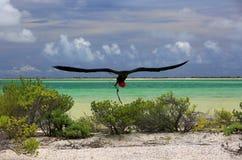 L'oiseau de frégate masculin construit un nid Images stock