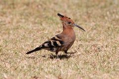 L'oiseau de huppe Photographie stock
