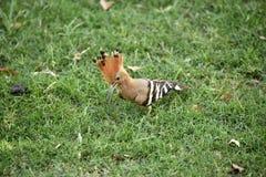 L'oiseau de huppe Image stock