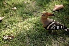 L'oiseau de huppe a un ver Photos libres de droits