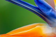 L'oiseau de la fleur de paradis photo libre de droits