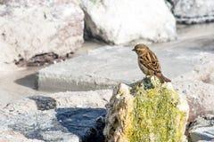 L'oiseau de moineau se repose sur une roche Photo stock