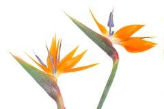 L'oiseau de paradize la fleur Images libres de droits