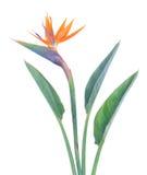 L'oiseau de paradize la fleur Photographie stock