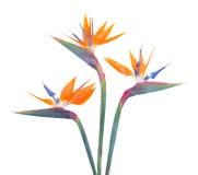L'oiseau de paradize la fleur Photo stock