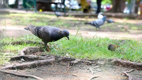 L'oiseau de pigeon de colombe marchant sur la nature a rectifié avec le bruit ambiant banque de vidéos