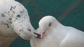 l'oiseau de pigeon embrassant avec des becs aiment le romance de soin d'affection de paires Photos stock