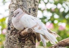 L'oiseau de pigeon sont malade Photos libres de droits