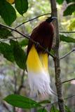 L'oiseau de Raggiana Photo libre de droits