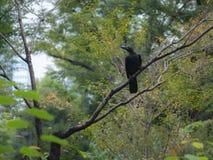L'oiseau de Raven est été perché sur un arbre Photographie stock libre de droits