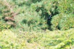 L'oiseau de tyran noir crêté en vol Photo libre de droits