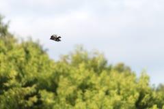 L'oiseau de tyran noir crêté en vol Photo stock