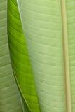 L'oiseau du paradis géant part (Strelitzia Nicolai) photographie stock libre de droits