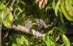 L'oiseau endémique, wagleri Rufous-gonflé d'Ortalis de Chachalaca en végétation dense au Mexique image stock
