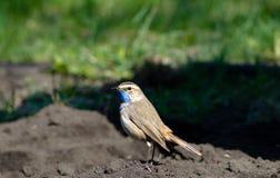 L'oiseau est la gorge bleue photographie stock libre de droits