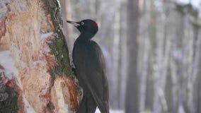 L'oiseau est un pivert se reposant sur l'arbre et le bec frappe sur le bois Forêt congelée Photo stock