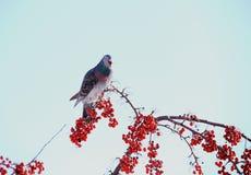L'oiseau et la baie et la neige d'hiver dans la neige du nord-est fulminent 2014 Photographie stock libre de droits