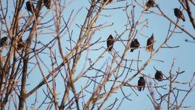 L'oiseau européen Sroc se repose sur les branches d'un arbre banque de vidéos