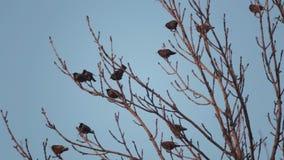 L'oiseau européen Sroc se repose sur les branches d'un arbre clips vidéos