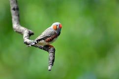 L'oiseau exotique de pinson de zèbre se reposent sur une branche d'arbre image libre de droits