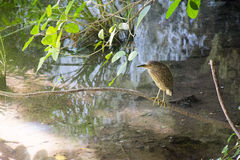 L'oiseau gris se repose sur une branche dans la boue au-dessus de l'eau Photo libre de droits