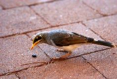 L'oiseau Jaune-throated de mineur sur le trottoir photo stock