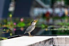 L'oiseau mangent de petits poissons Photos stock
