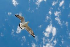 L'oiseau marin blanc avec le vol noir de saumons sous le ciel bleu de la Bulgarie Vue de mouette du vol au-dessus de l'eau de la  photographie stock