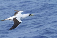 L'oiseau marin de vol Photographie stock
