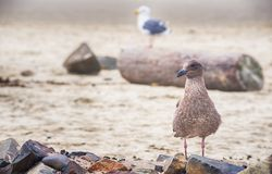 L'oiseau marin juvénile image libre de droits