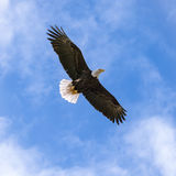 L'oiseau national des Etats-Unis Eagle chauve avec des ailes a écarté au loin Images stock