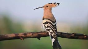 L'oiseau peu commun sauvage chante se reposer sur une branche clips vidéos
