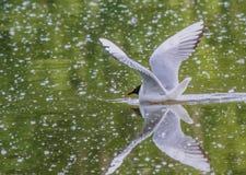 L'oiseau a répandu ses ailes avant décollage Photo stock