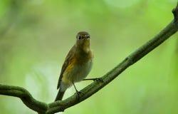 L'oiseau sauvage du Vietnam dans la nature, bluetail rouge-flanqué photographie stock libre de droits