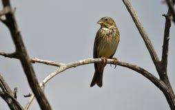 L'oiseau sauvage observe d'une branche image stock