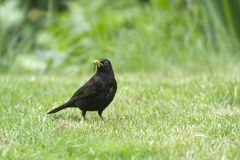 L'oiseau tôt attrape le ver de terre Images libres de droits