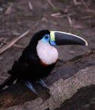 L'oiseau toucan d'Amazone se repose sur le logarithme naturel d'arbre Photographie stock