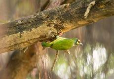 L'oiseau vert jaune mignon, barbican de chaudronnier de cuivre préparent la plate-forme pour l'รภde trou d'emboîtement· ³ d'à photos libres de droits