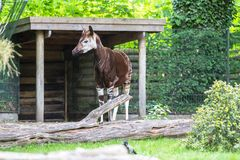 L'okapi dans un zoo, Berlin photo stock