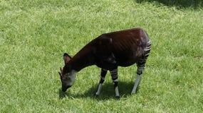 L'Okapia de girafe de forêt rase l'herbe Image stock
