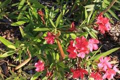 L'oléandre rose fleurit texture de fond photographie stock libre de droits