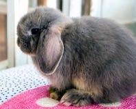 L'Olanda grigia pota il coniglio Immagini Stock Libere da Diritti