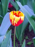 L'olandese ha fiammeggiato il fiore rosso e giallo del tulipano immagine stock