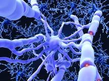 L'Oligodendrocyte forme les gaines myéliniques isolantes autour de la hache de neurone