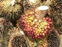L'olio di palma Fotografie Stock Libere da Diritti