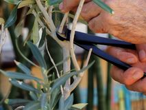 L'olive photos stock