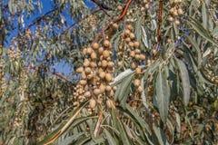 L'olive ukrainienne, il est un pshat Photo libre de droits