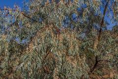 L'olive ukrainienne, il est un pshat Photographie stock libre de droits